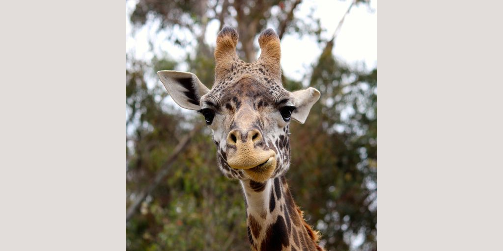 Funny Giraffe Photo Unframed Fine Art Zoo Animal